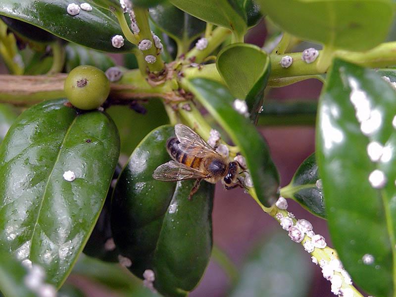Bee collecting honeydew